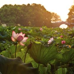Wine-making Yard and Lotus Pool in Summer