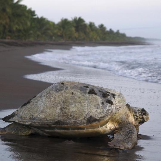 Turtle-watching in Tortuguero National Park