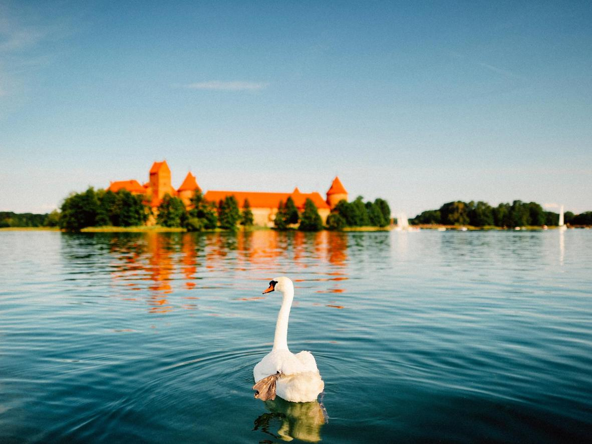 A swan swims up to the Trakai castle, Trakai