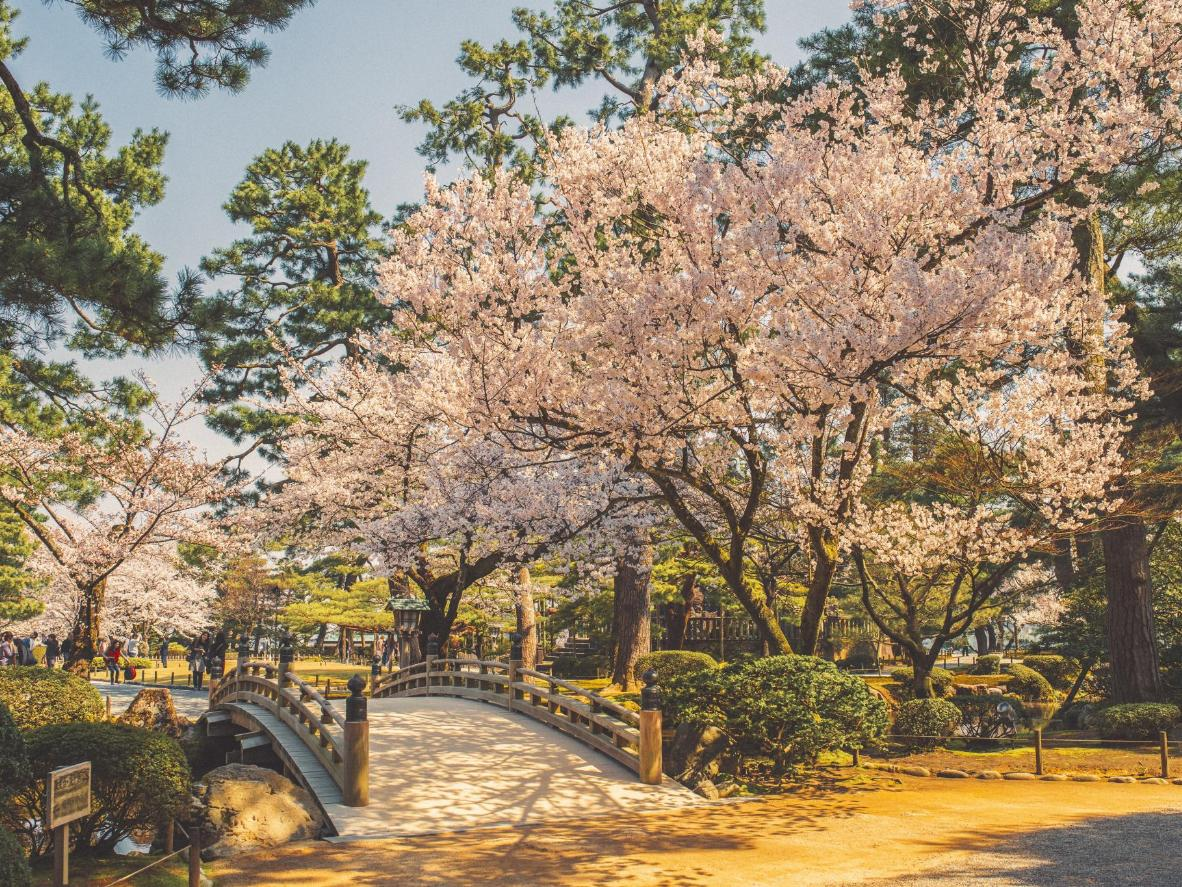 but its many japanese gardens and the surreal sight of seeing blossom float through this fast paced city make it one of japans cherry blossom hot spots - Japanese Garden Cherry Blossom Bridge
