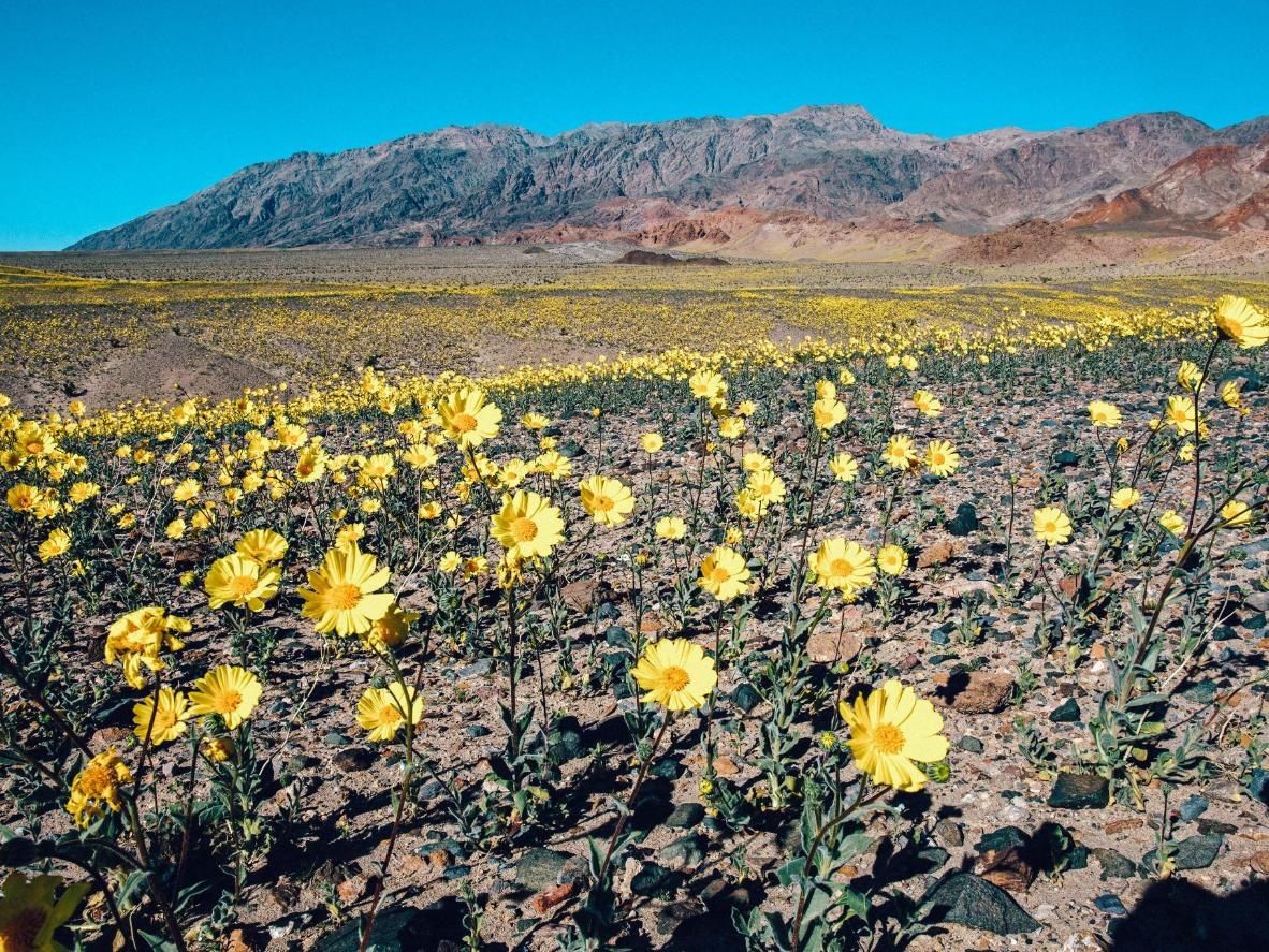 The floor of Death Valley coming into bloom with Desert gold Wildflowers, California
