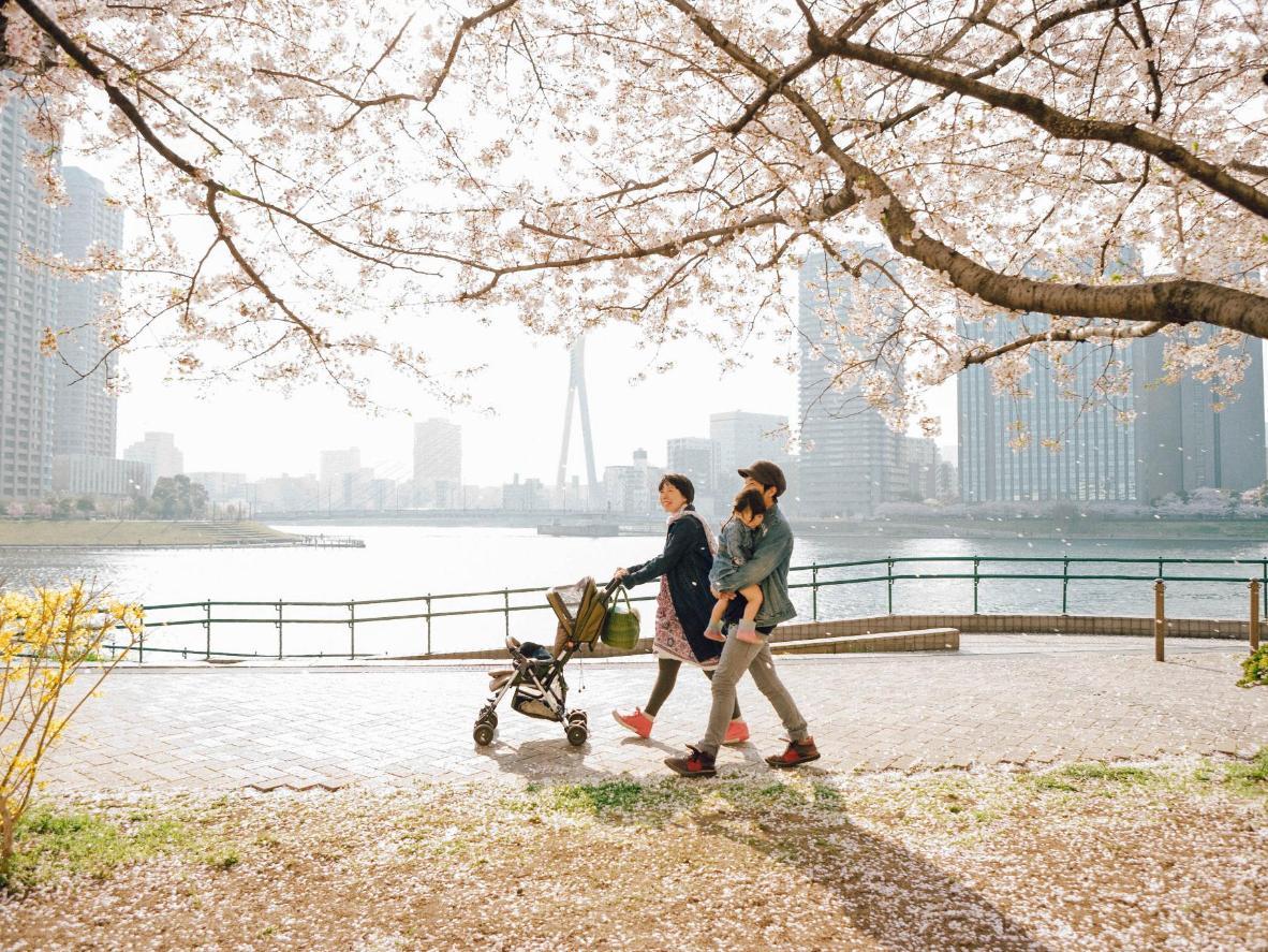 Cherry blossom (sakura) turns Tokyo pale pink come spring, Japan