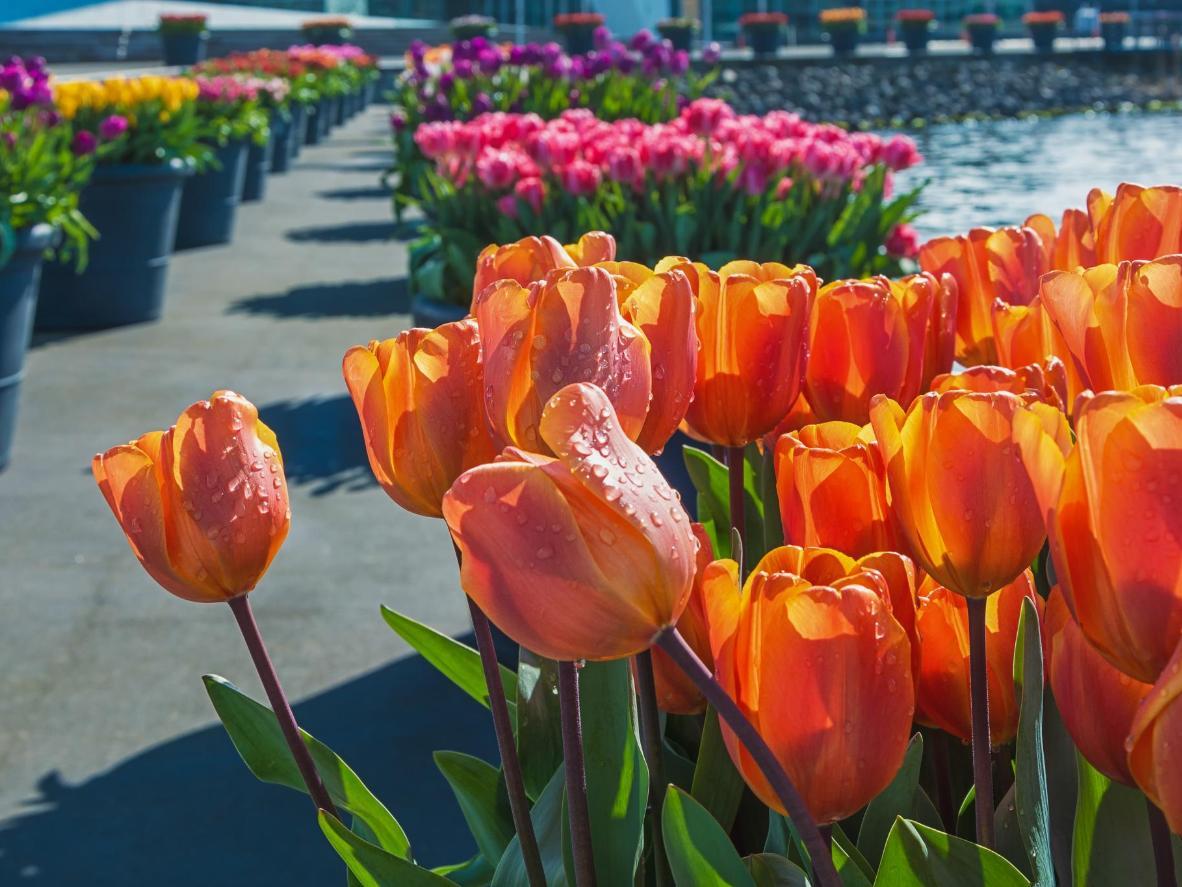 Visit the Amsterdam Tulip Festival in spring