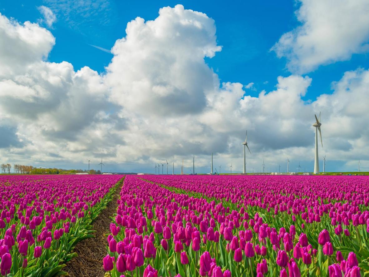 Take a road trip along the Noordoostpolder tulip route