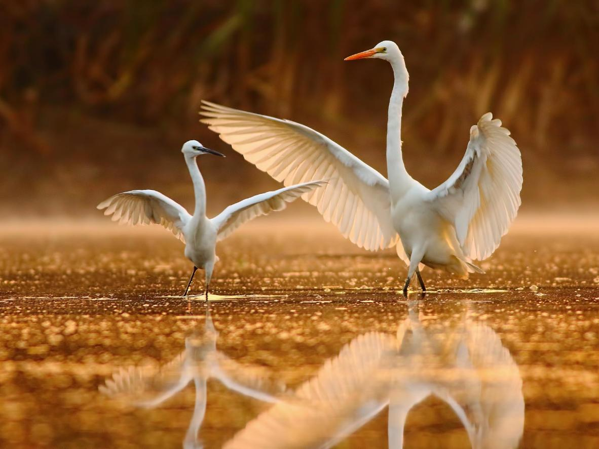 The early morning dance of the egrets