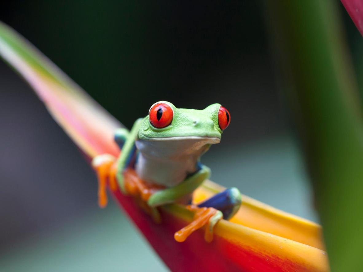 La rana roja de Ayes, papped en Costa Rica