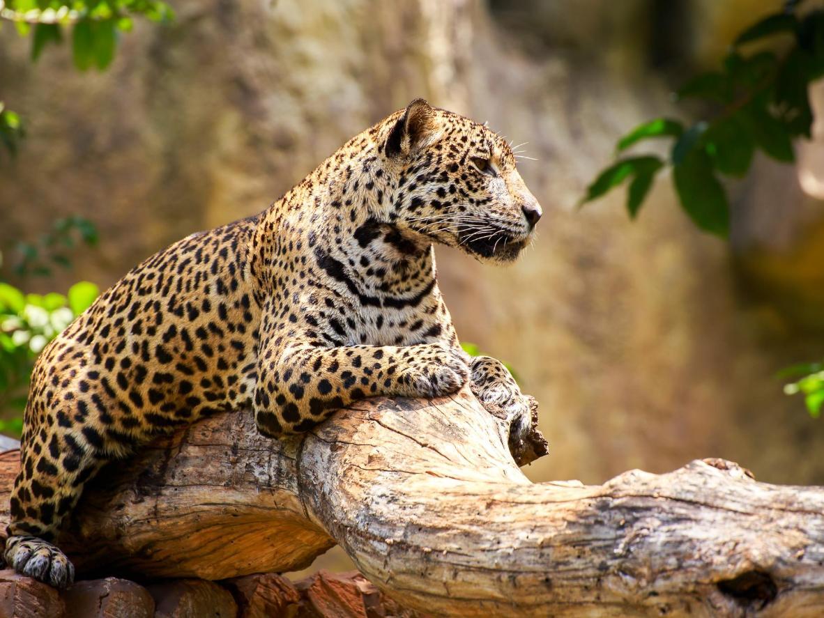 Probablemente, Dinamarca no sea el primer lugar donde pienses buscar jaguares, pero ...