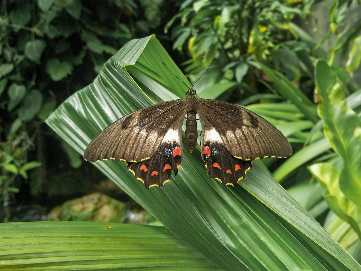 Precious species of butterfly at the Australian Butterfly Sanctuary