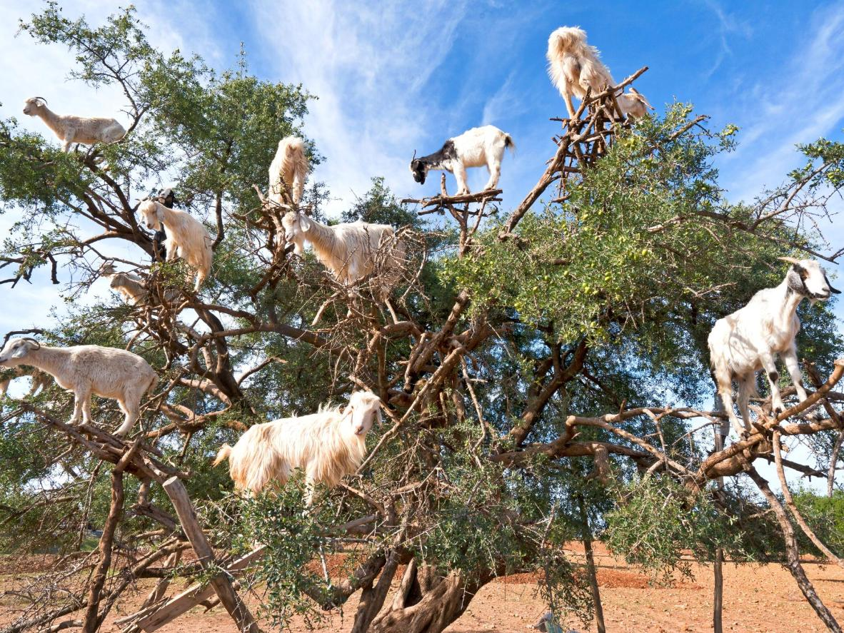 The infamous, tree-climbing goats of the argan oil region
