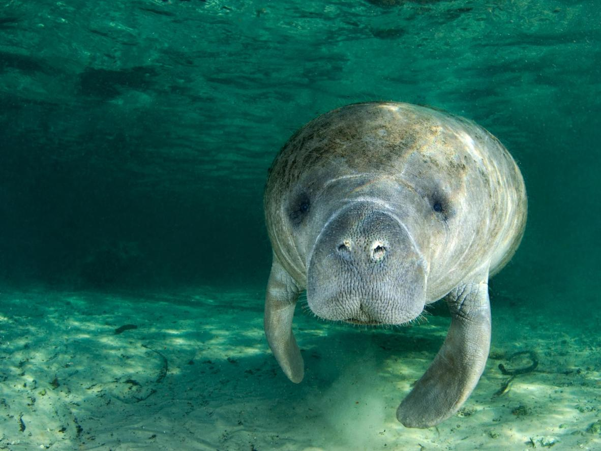 Volunteers help with the ongoing Manatee conservation efforts in Belize