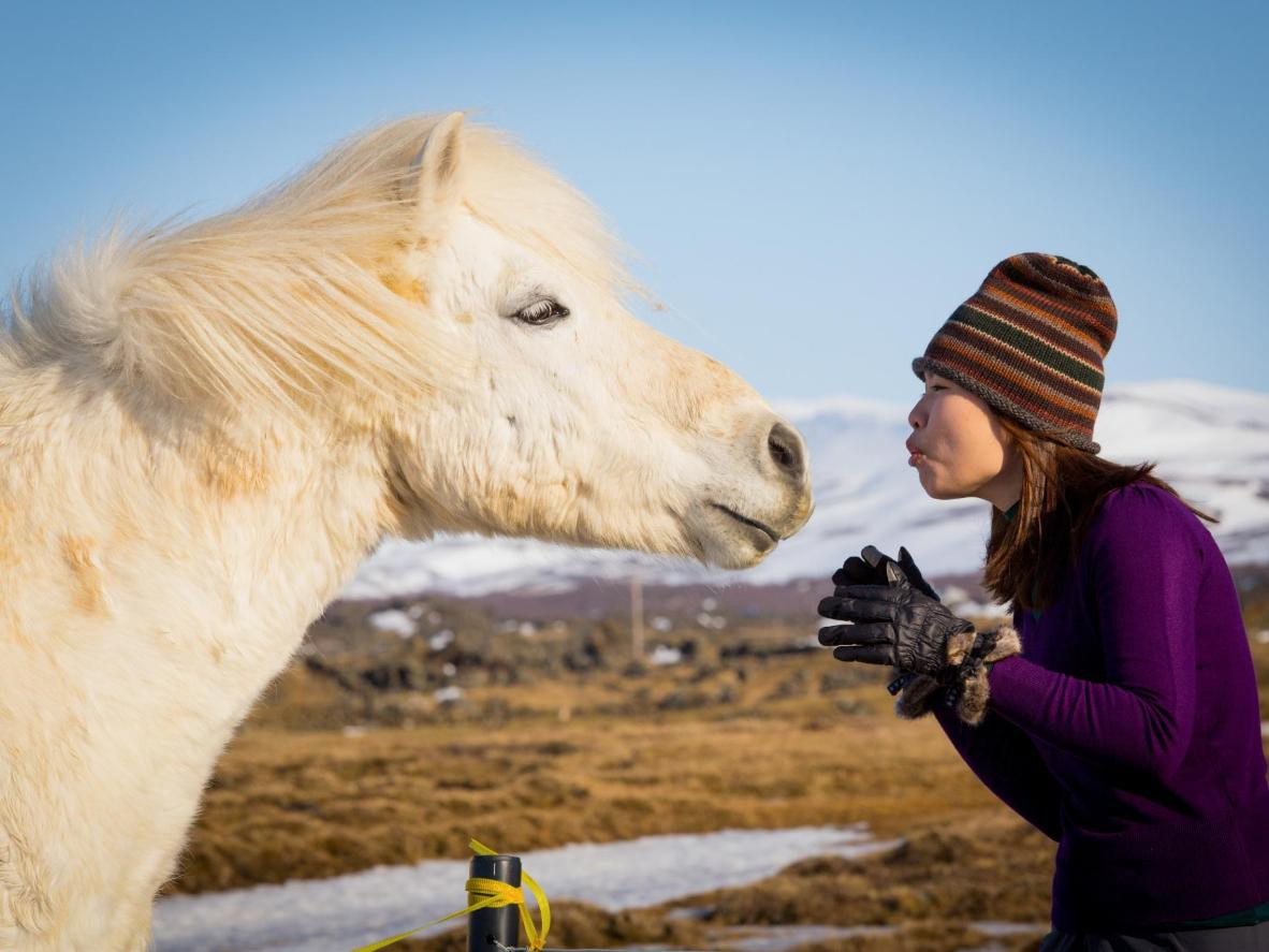Many Icelandic Horses are pony-sized but are still referred to as horses
