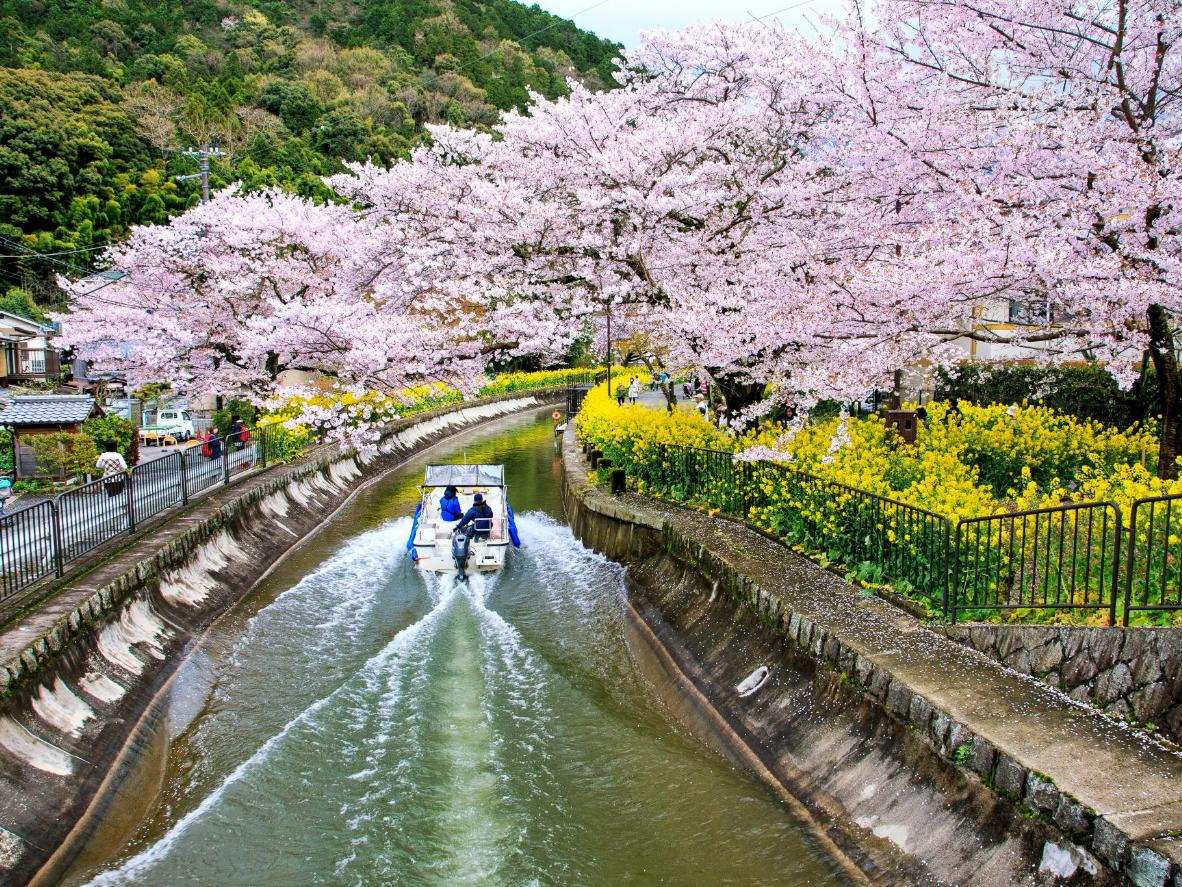 Cherry blossom viewing by boat in Kyoto, Japan