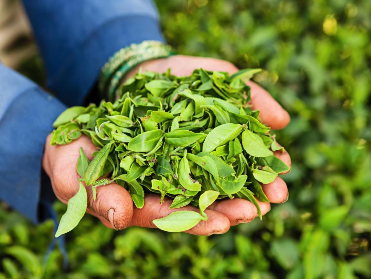 Tea leaves picked at a Darjeeling tea plantation