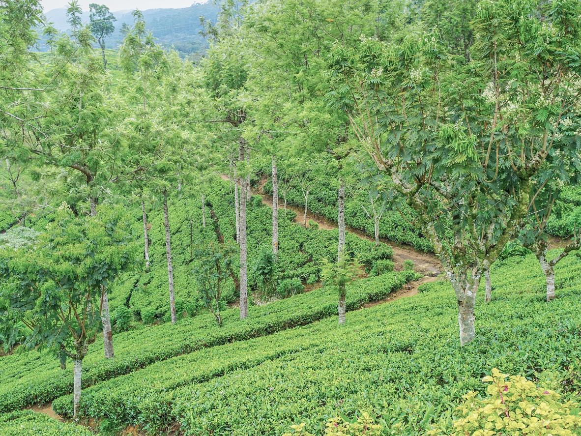 Pedro Tea Plantation in Nuwara Eliya District