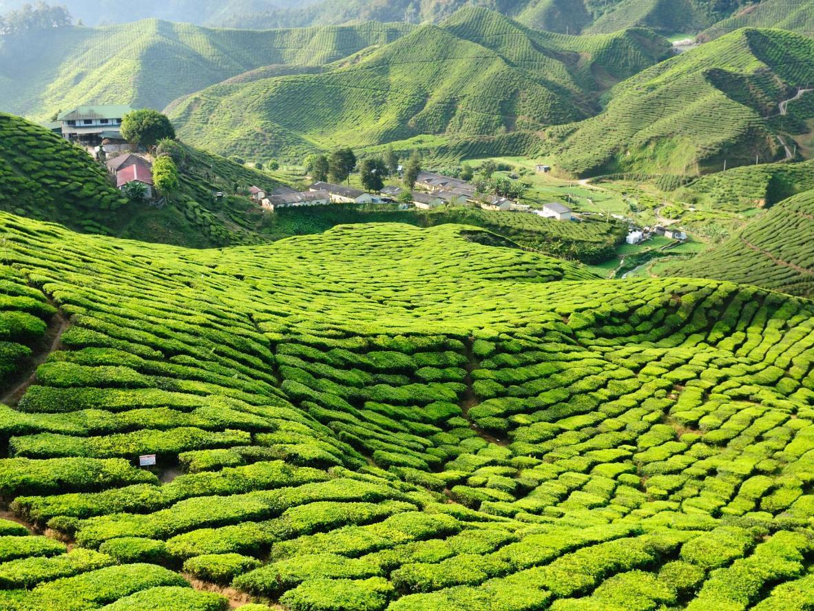 A tea plantation in the Cameron Highlands of Malaysia