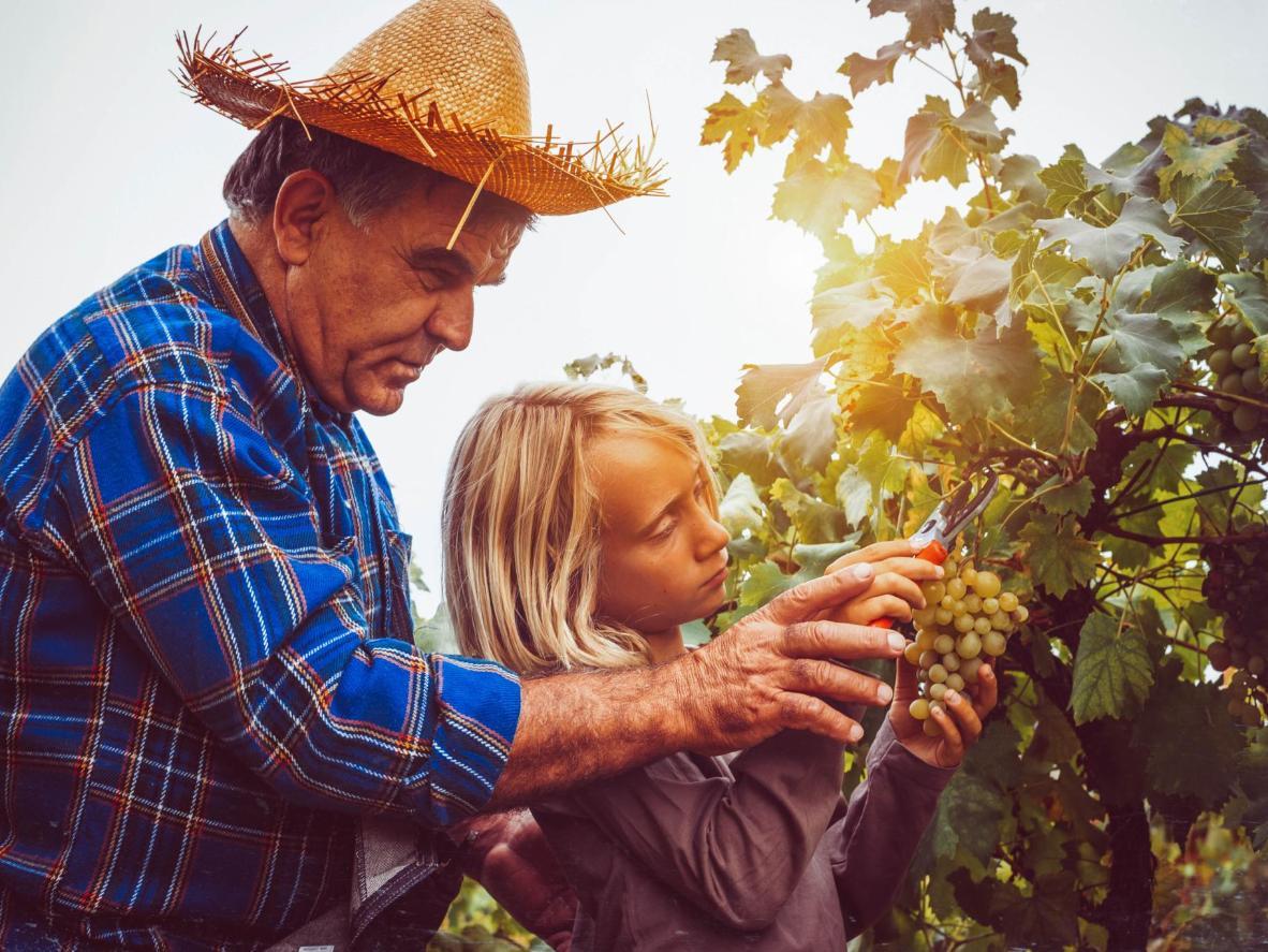 Harvest grapes together on an Italian farm