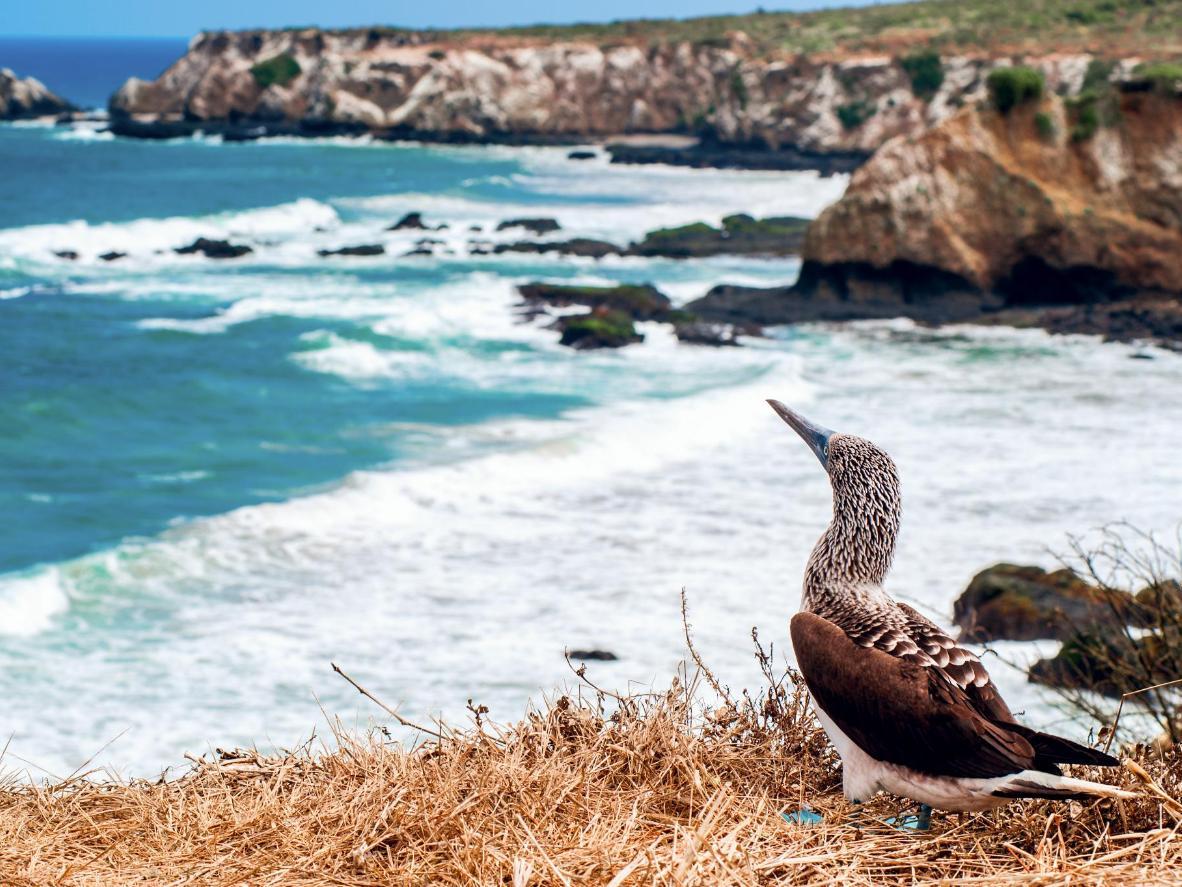 A blue-footed Booby on Isla de la Plata