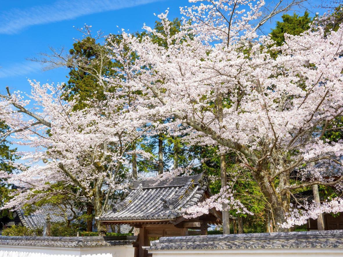 Im Frühling färben Kyotos Kirschblüten die Stadt hellrosa