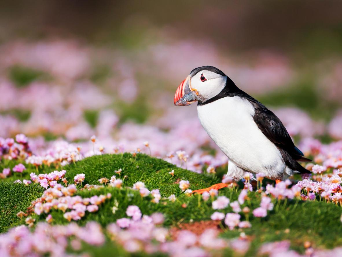 Hike to see Fair Isle's Atlantic Puffin colony, that nests in the coastal cliffs