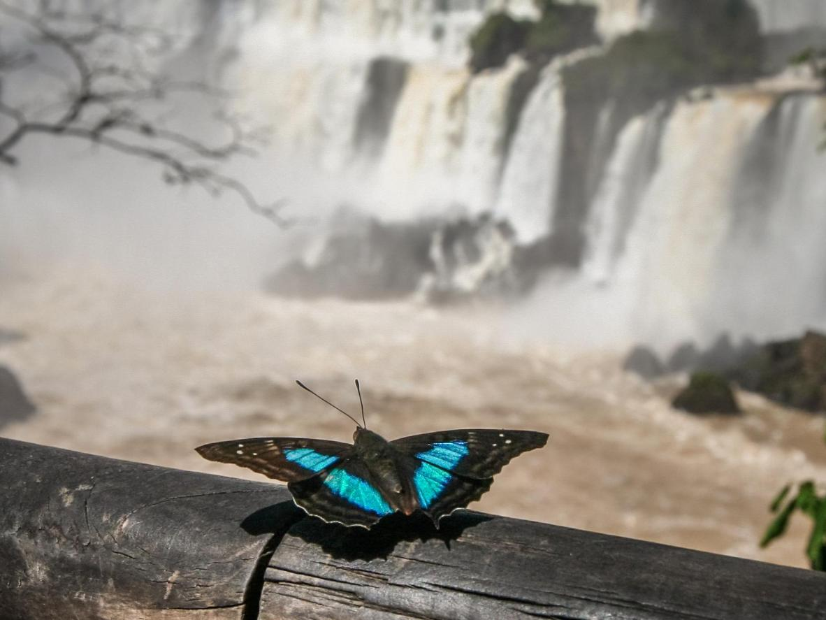 The selection of butterflies can be found at the Iguazu falls