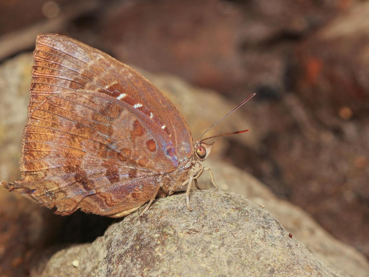Keep your eyes out for oakblues, which live in the Kathmandu Valley region