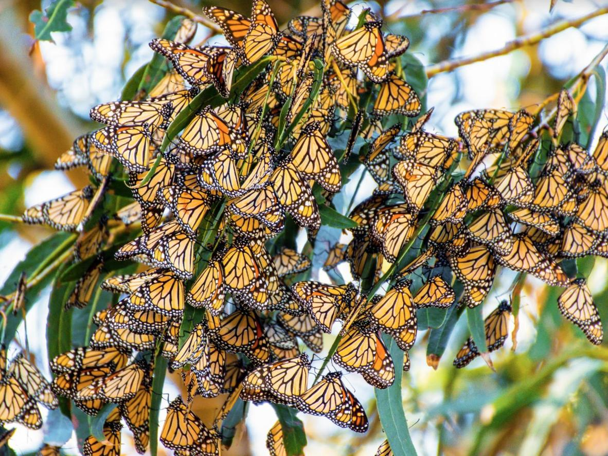 Head to the grove during migration season to see thousands of Monarchs