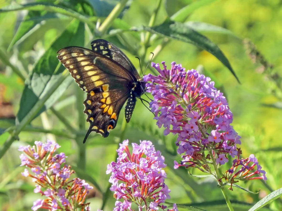 Red-sided swallowtail are one of the species you can see