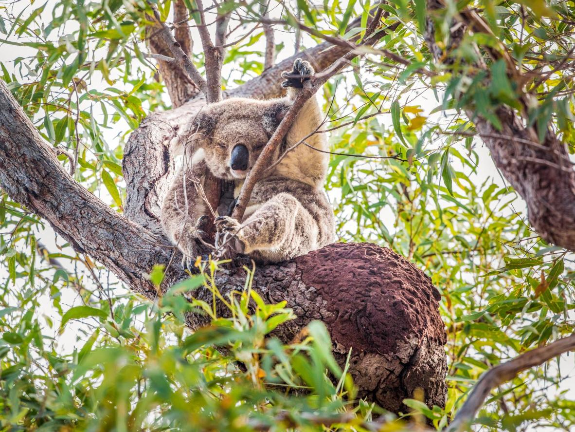 Allegedly over 800 koalas live on the island
