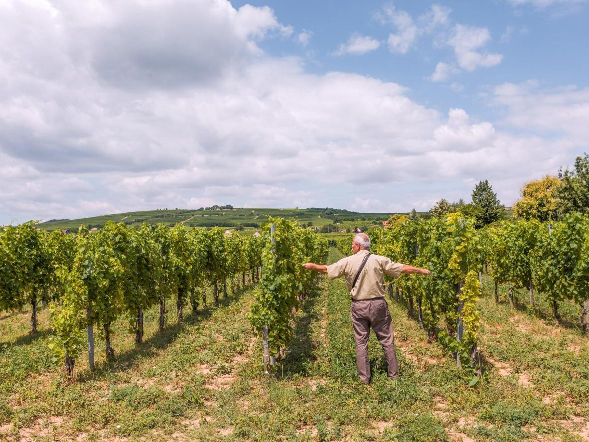 A horticultural engineer measures the distance between vines
