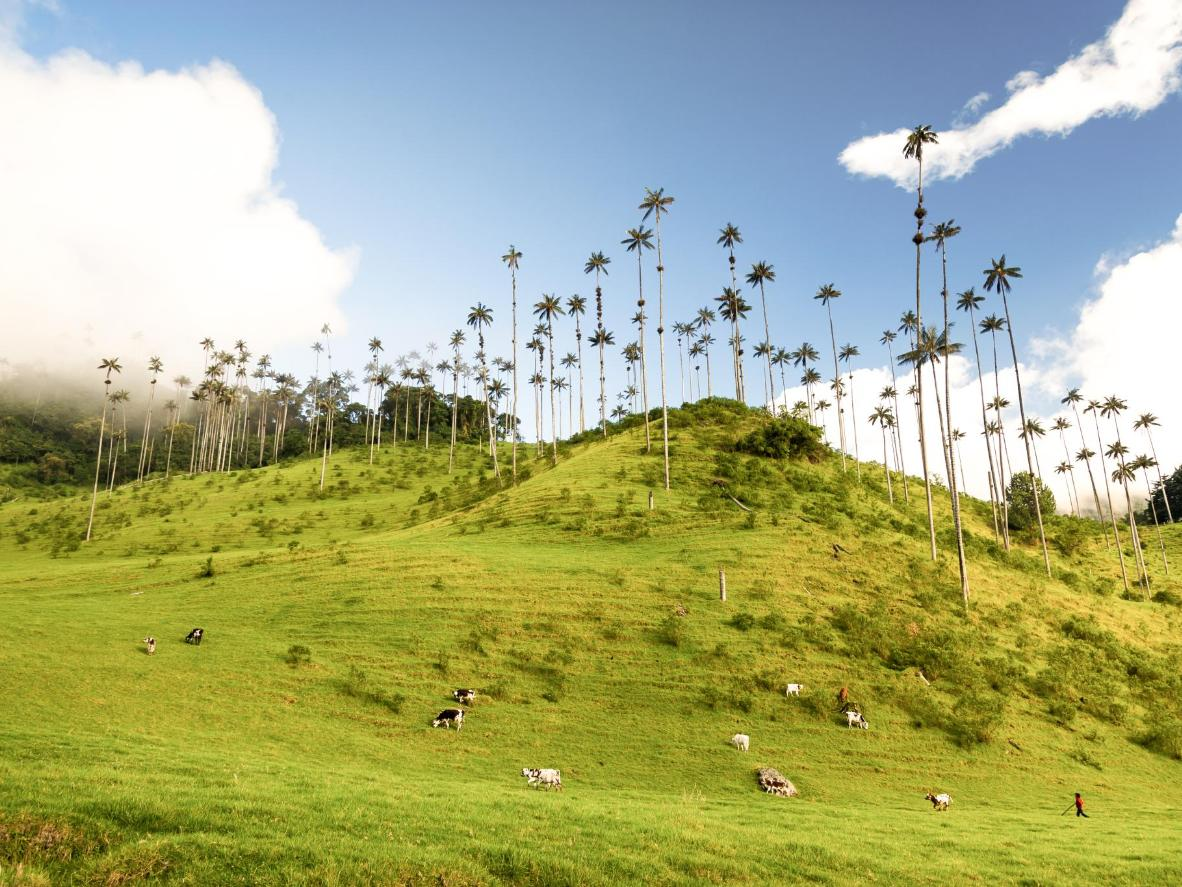 Gaze at the tallest wax palm trees in the world