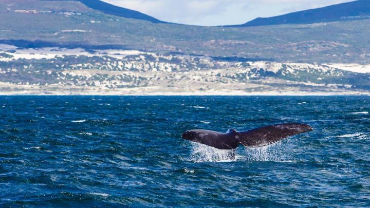 Encuentra el mejor lugar para ver ballenas en Hermanus