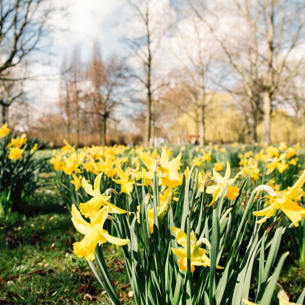 Sunshine-yellow daffodils brighten Westerpark