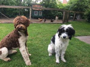Pet or pets staying with guests at GOESTING: de B&B