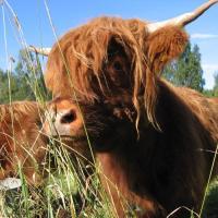 Highland Cattle Farm