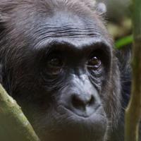 Olifant en Chimpansee