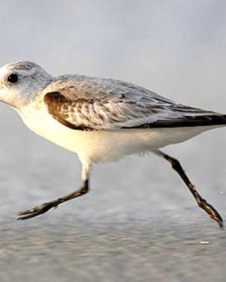 Strandläufer Zempin