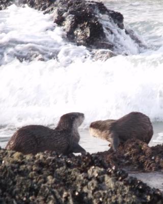 Kamma-Otter