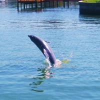 Dolphin Watch at Coconut Condo of Dunedin