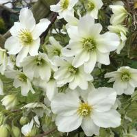 Clematis House