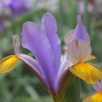 Il Giardino Degli Iris