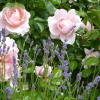 Cheristow Lavender Organic B&B